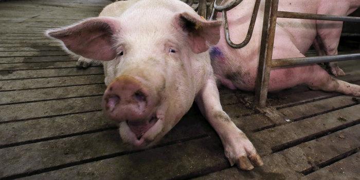 Три области Украины поразила чума свиней