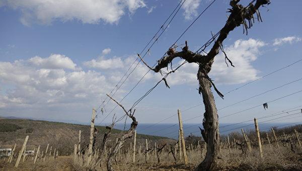 Впервые за 20 лет «Массандра» заложила новые виноградники в Крыму