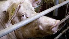 Конец украинского сала близок: польские, датские и голландские свиньи «съели» украинских