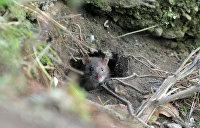 Кличко проиграл грызунам: в Киеве нашествие крыс