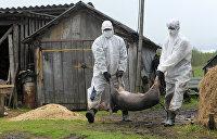 Вспышки африканской чумы свиней зафиксированы в трех областях Украины