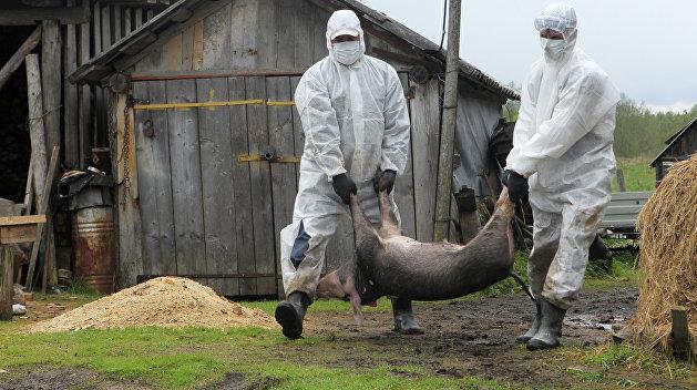 В Харьковской области обнаружена африканская чума свиней