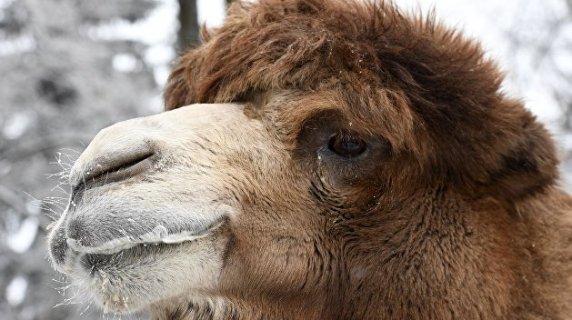 В центре Запорожья верблюд откусил украинцу палец