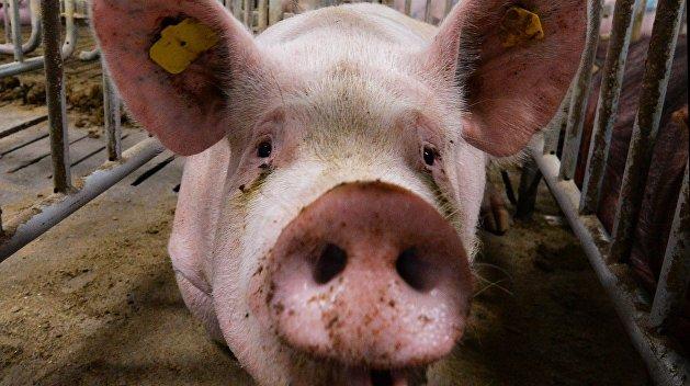 Бои без правил: Свинья переиграла украинца