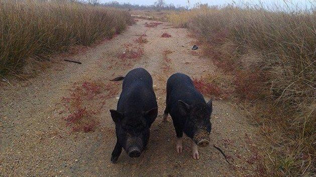 Свиньи острова Тузла