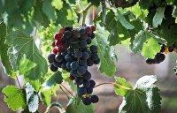 «Криминальный поджог»: Французский винодел обвинил Порошенко в порче виноградников