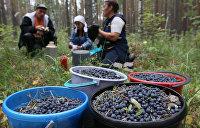 Чернобыльская ягода: Журналисты обнаружили на рынках Киева радиоактивную чернику