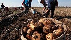 Украинская картошка гниет на корню — не нужна ни дома, ни на экспорт