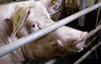В Одесской области ввели карантин из-за чумы свиней