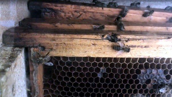 В Крыму разыскали уникальную таврическую пчелу, которая накормит медом Россию