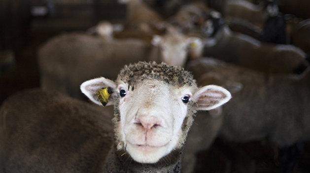 Судьбой одесских овец озаботились зоозащитники