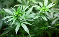 Под прикрытием коронавируса на Украине хотят протолкнуть закон о легализации медицинской марихуаны — СМИ