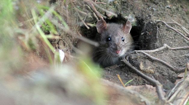 Бешеная крыса набросилась на киевлянку в центре столицы