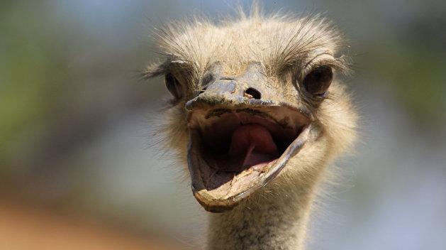 Беглый страус устроил переполох в украинской глубинке