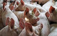 Из-за дефицита украинцев накормят картофелем для свиней