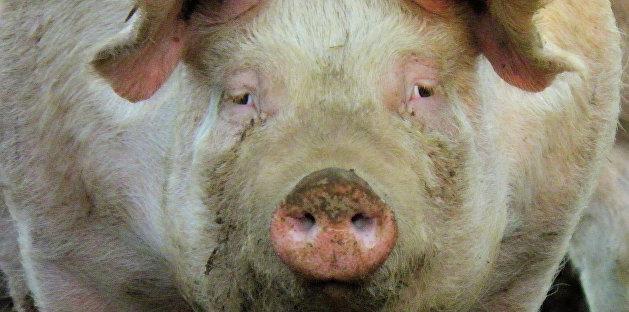 Фигуранта дела Вороненкова скормили свиньям