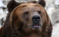 Карпатские медведи не могут уснуть из-за аномально теплой погоды