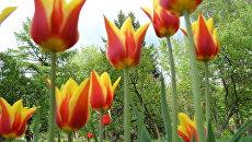 Голландские фермеры в убыток себе косят тюльпанные поля, чтобы удержать любителей фотосессий дома