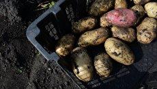 «Техническая» картошка. Гнилой привкус евроинтеграции