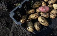 Потопы и засуха грозят оставить Украину без картофеля