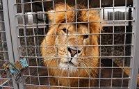 Разгуливавшего по улицам льва нашли в коровнике под Киевом