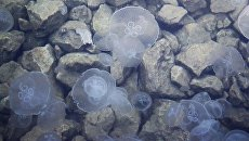 Трупы медуз убирают с побережья Азовского моря экскаватором - видео