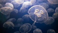 Сделайте достопримечательностью: медуз, атакующих Кирилловку, предложили есть и использовать как косметическое средство