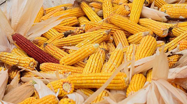 На Украине следователь торговал тысячами тонн изъятой кукурузы