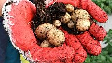 Без драников и зраз. Будут ли на Украине перебои с картошкой