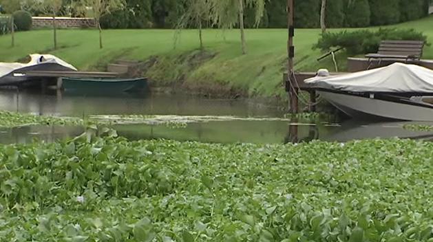 Красивая, но опасная: приток Днепра захватила «водяная чума»